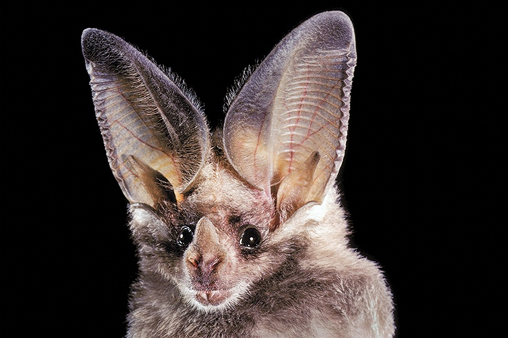 California-Leaf-Nosed-Bat